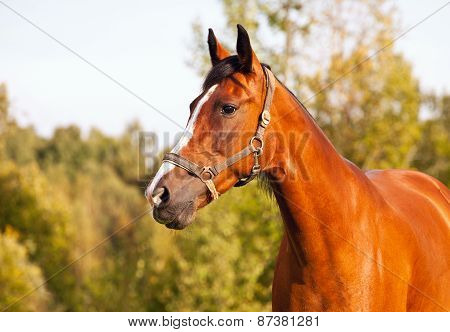 Portrait Of Bay Horse On A Background Of Trees