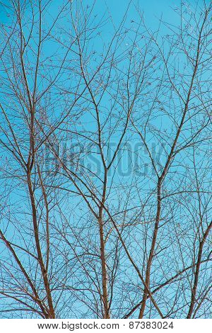 Naked Branches Of A Tree Against The Blue Sky