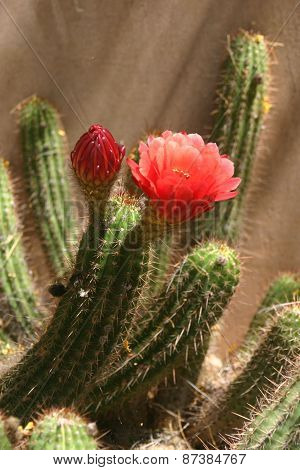 Torch cactus blooming