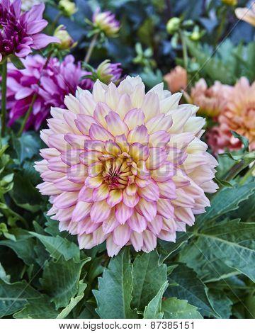 pink Dahlia flower closeup
