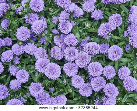 Chrysanthemum flowers close up natural background