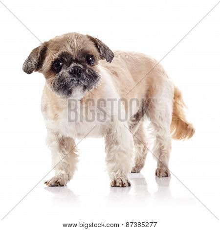 The Decorative Amusing Doggie Of Breed Of A Shih-tzu