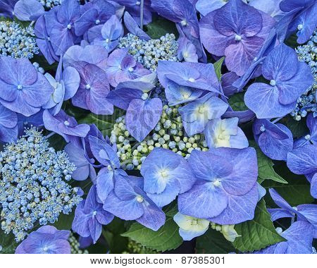Hortensia flowers closeup natural background