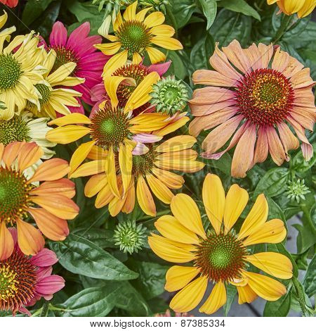 variety of Gerber daisies closeup
