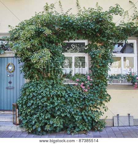 home facade with ivy plant Bamberg Germany