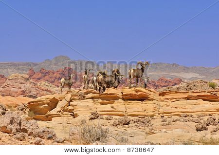 Deer In The Nevada Desert