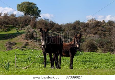Two shaggy donkey on the green grass.