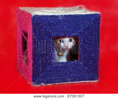Small Red And White Kitten Gets Out Of Scratching Posts On Red