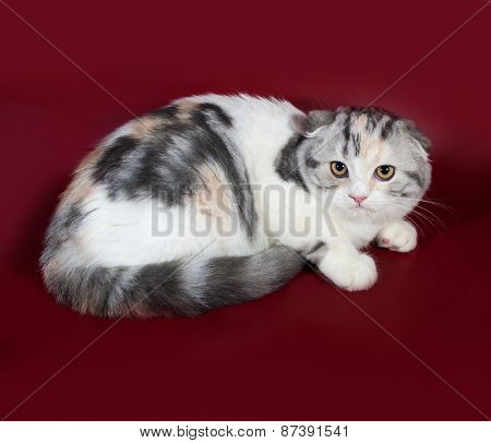 White With Spots Of Scottish Fold Cat Lies On Burgundy