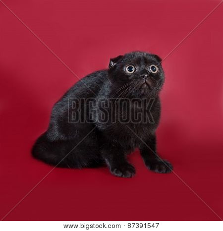 Black Scottish Fold Cat Sitting On Burgundy