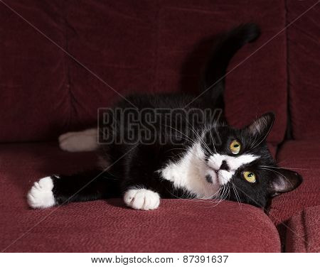 Black And White Cat Lying On Sofa