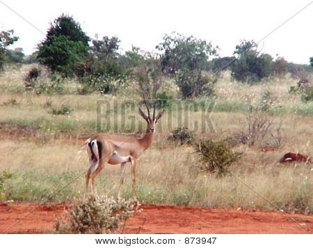 Solitary Gazelle