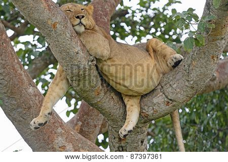 Young African Male Lion Asleep In A Tree