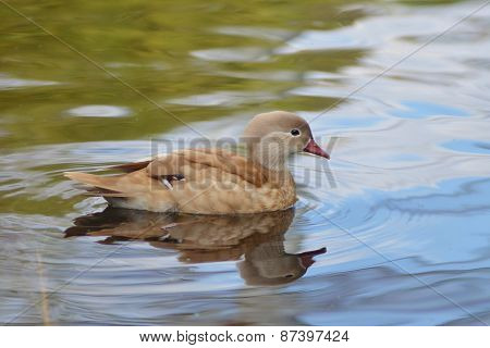 Duck swimming, Female mandarin duck