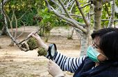 picture of rubber mask  - Masked pomologist is looking at affected fig leaves with magnifying glass
