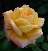 picture of yellow rose  - a big and beautiful yellow rose on black background - JPG