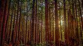stock photo of redwood forest  - Sunlight beaks through the redwood trees - JPG