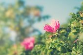 picture of dog-rose  - Dog roses in warm sunny summer day - JPG
