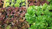 stock photo of hydroponics  - salad vegetable hydroponics garden with water droplets on leaves - JPG