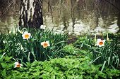image of nettle  - White daffodils nettle and birch on the lake shore - JPG