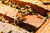 picture of working animal  - Busy bees close up view of the working bees on honeycomb - JPG