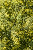 pic of mimosa  - Yellow flowers and green leaves of silver wattle blue wattle mimosa - JPG