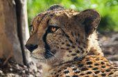 foto of cheetah  - A closeup of the head of a cheetah - JPG