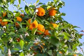 image of tangerine-tree  - Ripe tangerines on a tree branch - JPG