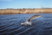 foto of lax  - jumping out from water salmon on river background - JPG
