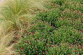 picture of mums  - Nice landscape of Fall grasses and Hardy Mums in garden - JPG