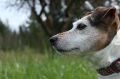 stock photo of jack russell terrier  - Profile of Mindy the Jack Russell Terrier - JPG