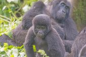 stock photo of gorilla  - Young Mountain Gorilla in its Family Group in the Cloud Forest in Bwindi National Park in Uganda