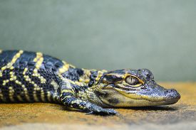 image of alligator  - Baby alligator - JPG