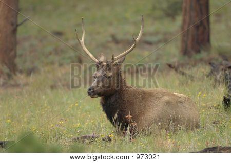 Elk Buck