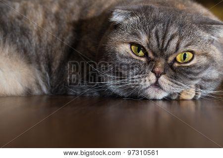Cat Is Lying On The Wooden Floor.