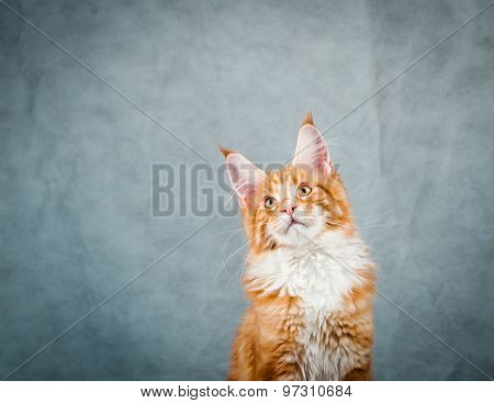 Young Red Cat Portrait