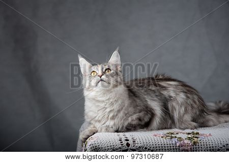 Silver Gray Maine Coon Cat