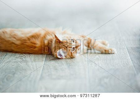 Ginger Kitten Having Rest