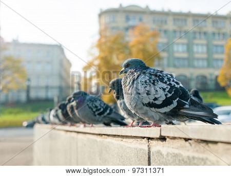 Street Doves In The City