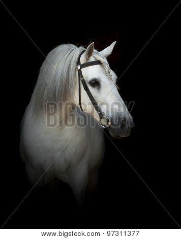 White Persheron Horse portrait