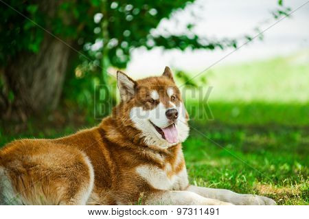 Husky On Grass