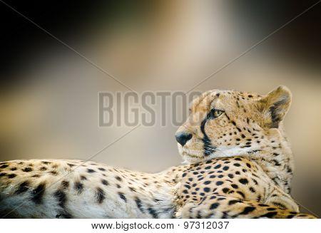 Cheetah Close Up Laying