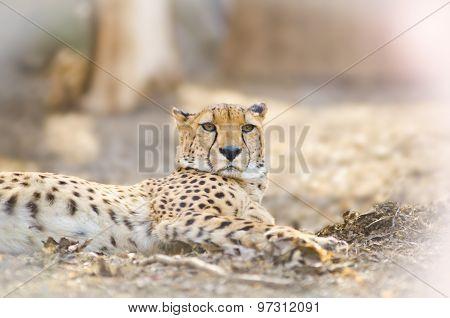Young Cheetah Laying