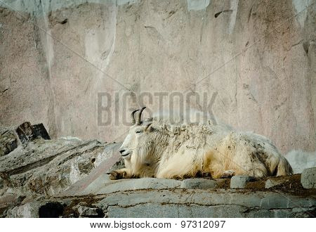 Adult Rocky Goat Having Rest On Rocks