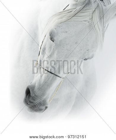 White Arabian Horse Closeup