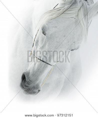 White Arabian Horse Closeup