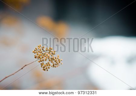 Dry Inflorescence In Autumn