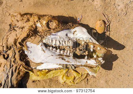 Dead Camel Skeleton
