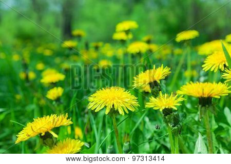 beautiful yellow dandelion flower in the background lawn. natural background