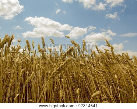 Wheat From Bottom Up